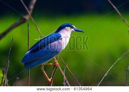 Black-crowned night heron, Nycticorax nycticorax, single bird on branch