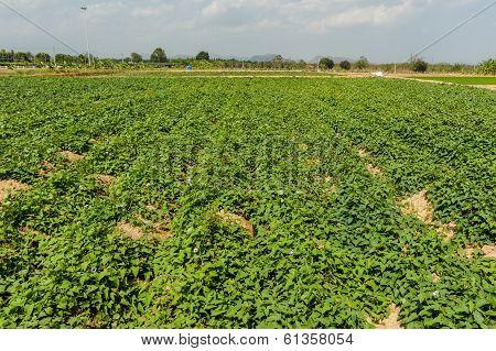 Sweet Potato(ipomoea Batatas).