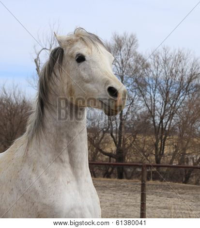 Arabian Horse looking angry
