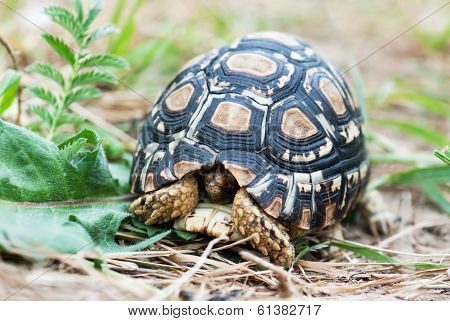 Leopard Tortoise In The Defense Position