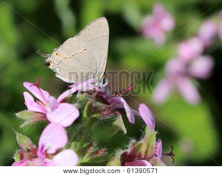 Gray Hairstreak Butterfly on Pink Flowers