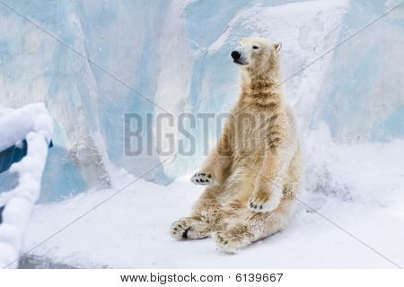 Young polar bear sitting on the snow and enjoying the sun poster