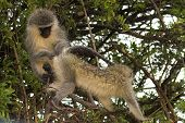 Vervet monkey being groomed by another monkey, in search of ticks and other parasites poster