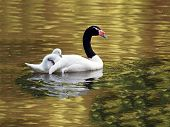 A Black Necked Mother Swan with chick poster