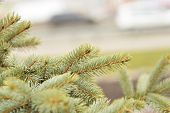 Young green spruce branch on blurred background at spring day poster