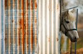 white horse in rusty corrugated iron hut poster