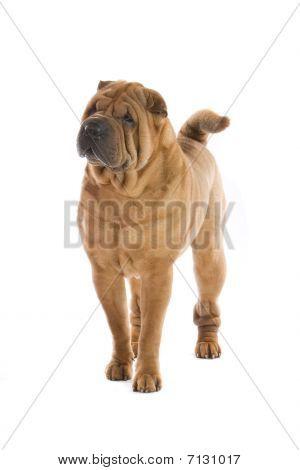 chinese Shar-Pei dog
