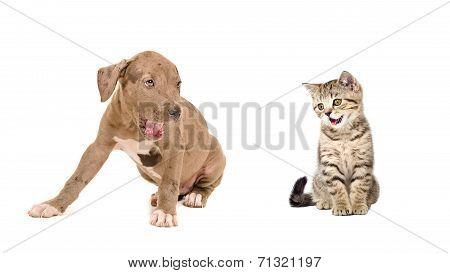 Puppy and kitten yawn together