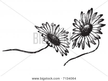 antique daisies engraving (vector)