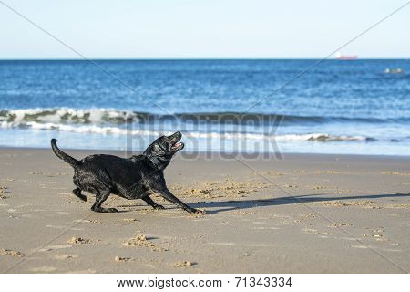 Dog Getting Ready To Catch A Ball On The Beach