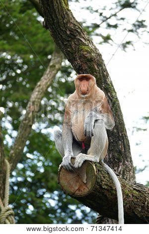 Proboscis Monkey With Red Penis