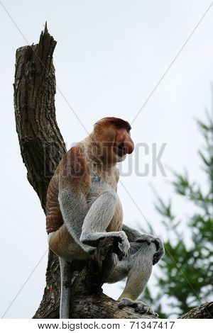 Long-nosed Monkey (nasalis Larvatus)
