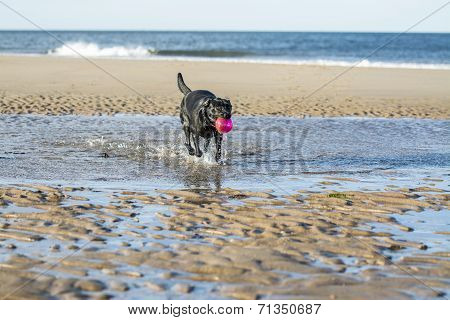 Black Labrador Dog Fetching Ball From The Sea