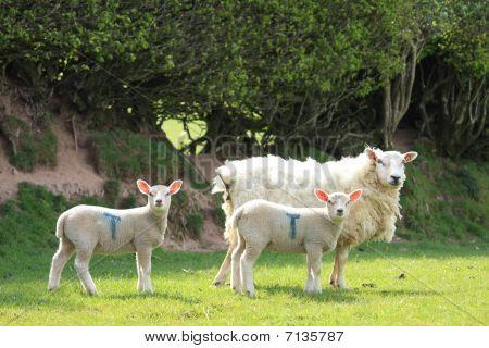 Spring lambs with mum