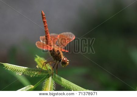 Red Dragonfly Close Up