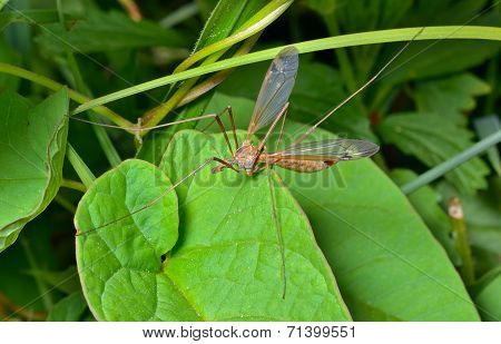 Insect Daddy-long-legs