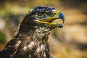 prey, imperial eagle, head detail with beautiful plumage brown poster