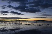 Snow geese awaiting take-off in early morning light at Bosque del Apache Wildlife Reserve in New Mexico. poster