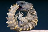 The  Armadillo girdled lizard is a heavily armored lizard species endemic to South Africa. poster