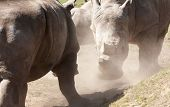 Two Rhinos face to face fighting kicking up dust poster