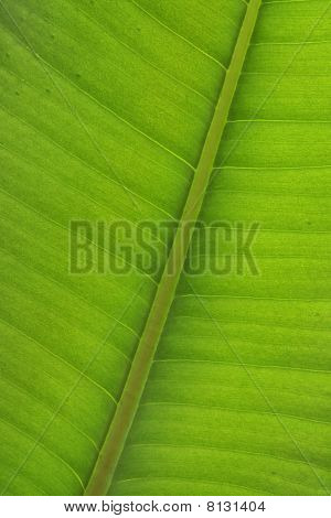 Ficus Leaf Close-up