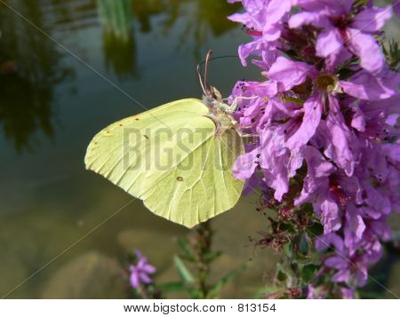 Brimstone, yellow butterfly feeding on flower with a pond in the background poster