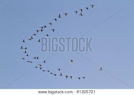 Migrating Birds Flight In Bardia, Nepal