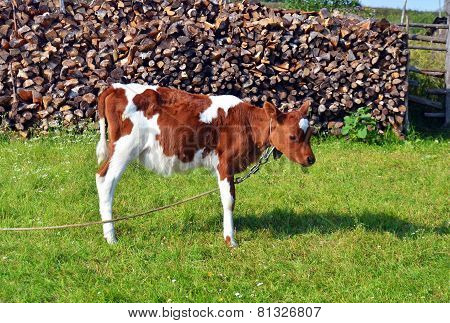 Little Calf Standing In Green Pasture