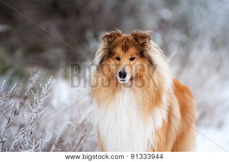 Portrait of a beautiful red fluffy dog collie on the background of the winter forest.