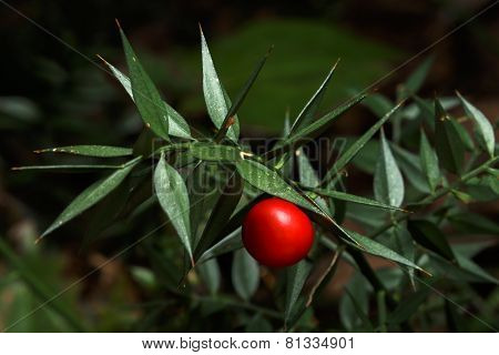 prickly ruscus aculeatus plant with red berry poster