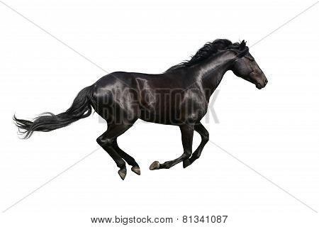 Black horse galloping on white