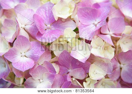 closeup image of pink hydrangea