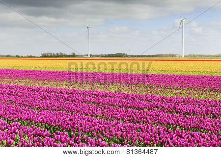 Tulip field in Holland