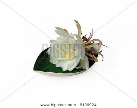 Queen Of The Night Brahma Kamal Two