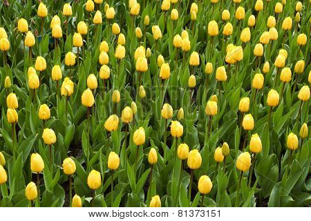 yellow Tulips in Keukenhof Flower Garden,The Netherlands
