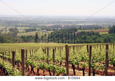 Young Vineyard Rows