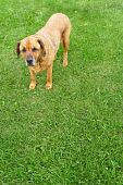 Image of a Rottweiler Mastiff mix standing on a lush lawn poster