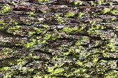 textured bark of qiant sequoia mariposa grove yosemite national park poster