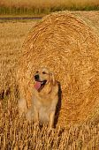 Beautiful Golden Retriever playing around a traw roll at a perfect sunny afternoon poster