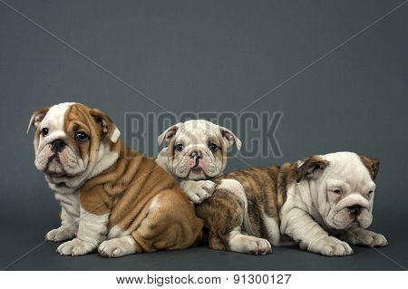 Three English Bulldogs