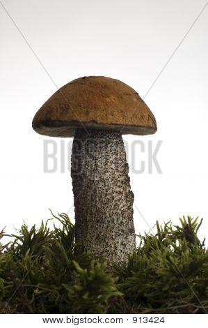 bron mushroom close up studio shot over white poster