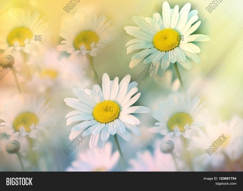 Beautiful daisy flower meadow image photo bigstock beautiful daisy flower in meadow bathed in spring sunshine daisy flowers lit by sun rays izmirmasajfo