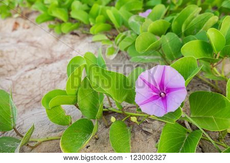 Goat's Foot Creeper or Beach Morning Glory (Scientific Name : Ipomoea Pes-caprae)