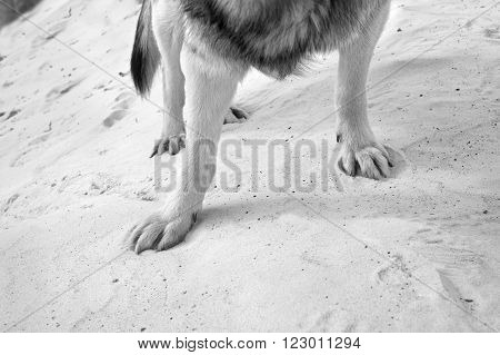 Dog legs standing on a dune paws stuck in the sand closeup angled shot in black and white