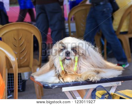 ACRE, ISRAEL: JANUARY 16 2016: cute white dog rest on festival and posing at a dog show at dog show