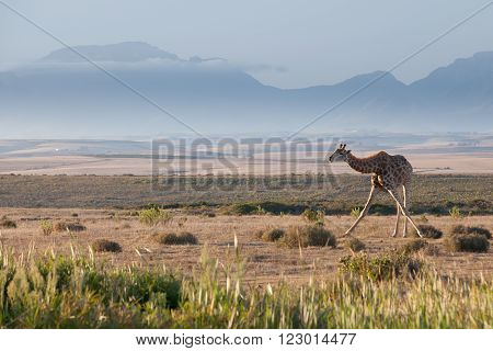 A giraffe bending down in an open plain with a beautiful, scenic mountain background