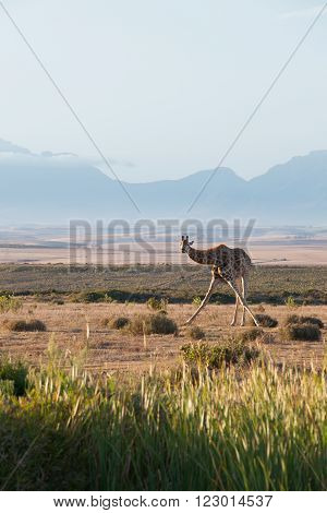 A giraffe standing in an unusual way with a magnificent mountain backdrop