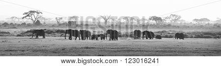 Herd of elephants walkig in Amboseli National park, Kenya, Africa. Black nad white image. Panorama.
