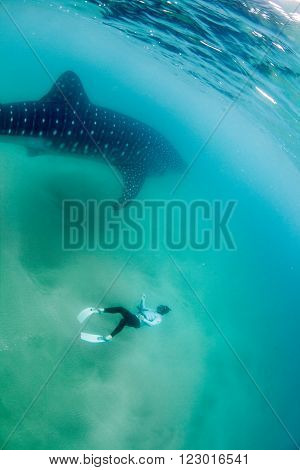 A free diver swimming next to a gigantic whale shark