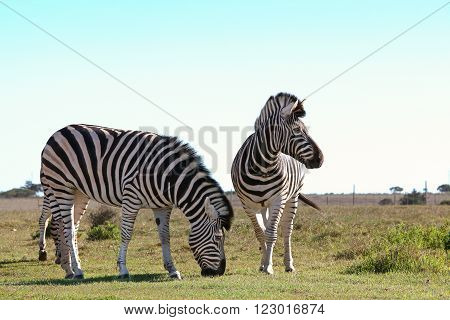 A couple of zebras grazing together in a reserve
